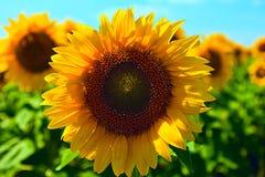 Sommersonnenblumenfeld Stockfotos