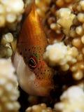 Sommersprossiges hawkfish Stockfotografie