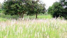 Sommerszene von wilden Gräsern blühen den Schlag im Wind Frische grüne Wiesen stock footage