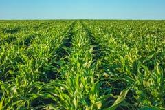 Sommertag hebt das landwirtschaftliche Feld, das in den ordentlichen Reihen wachsend ist, hoch hervor, grün, Zuckermais Lizenzfreie Stockfotografie
