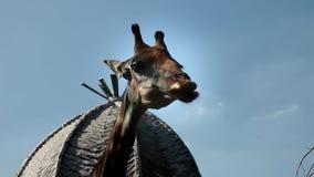 Sommerurlaubsreise auf Lager Asien Orientale Giraffe 1920x1080 1080p Thailand Videoaufnahmen Animais Selvagens stock video footage