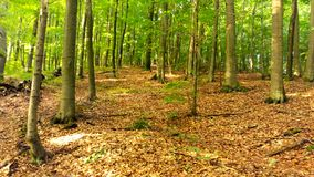 Sommerwald in den Bergen, große Bäume Stockfotografie