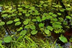 Sommerwaldfluß in den Dickichten von Seerosen Stockfoto