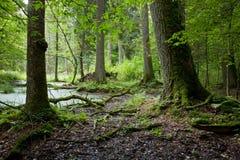 Sommerwaldlandschaft mit alten Bäumen und Wasser Lizenzfreies Stockbild