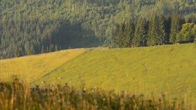 Sommerweide mit dem Weiden lassen von Kühen stock video footage