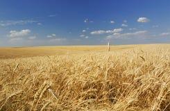 Sommerweizenfeld stockfoto