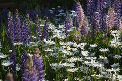 Sommerwiese mit violetten lupine Blumen und weißen Gänseblümchen Blühende Naturszene stockbilder