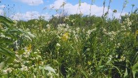 Sommerwiese mit wei?en Blumen stock footage