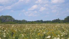 Sommerwiese mit wei?en Blumen stock video