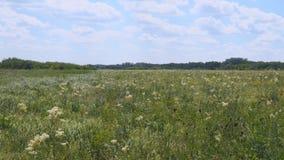 Sommerwiese mit wei?en Blumen stock video footage