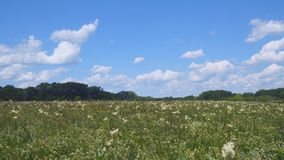 Sommerwiese mit wei?en Blumen Wei?e Wiesenblumenschafgarbe Im Abstand sehen Sie Wald stock video