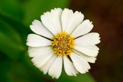 Sommerwiesenblume mit dem gelben Staubgefässe und den weißen Blumenblättern Gerberamakrofoto Stockfoto