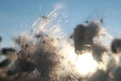 Sommerwind auf dem Feld Die Blumen und Samen, flaumig, brennt den Wind durch stockfotos