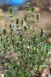 Sommerwohlschmeckendes (Satureja hortensis) lizenzfreie stockfotografie