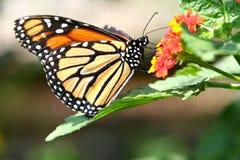 Sommerzeit-Monarch-Basisrecheneinheit auf einer Lantana-Blume Stockbilder