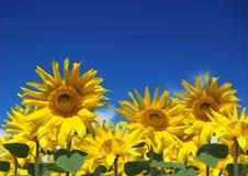 Sommerzeit-Sonnenblumen Lizenzfreies Stockbild