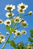 Sommerzeitgänseblümchen. Lizenzfreies Stockbild