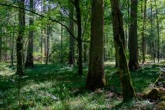 Sommerzeitlaubwechselnder Urwald mit altem geziertem Baum Stockbild