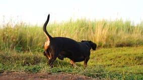 Sommerzeitvertreib Landschaftsfeiertage in der Landschaft Weg mit einem kleinen Hund auf einem grünen Feld stock video footage