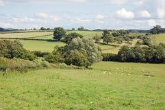 Sommerzeitwiese mit einigen Schafen, die in der britischen Landschaft weiden lassen Lizenzfreie Stockbilder