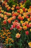 Sommerzeitwiese von gelben und roten Tulpen Stockfotografie