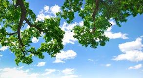 Sommerzweig mit blauem Himmel und Wolken Stockfoto