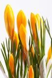 Sommige bloemen van gele krokus die op witte achtergrond wordt geïsoleerd Stock Afbeeldingen
