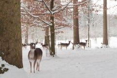 Deers in de sneeuw Royalty-vrije Stock Foto's