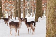 Deers in de sneeuw Stock Afbeelding