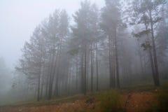 Sommige die bomen door mist bij zonsopgang worden omringd Stock Foto's