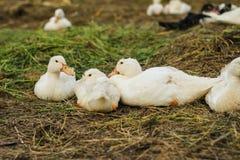 Sommige eenden bij gevogeltelandbouwbedrijf Royalty-vrije Stock Afbeeldingen
