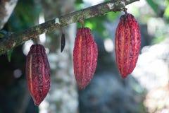 Sommige hangende cacaopeulen op een boom Stock Foto's