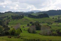Sommige koeien bij groene weiden en gebieden in het platteland van Nieuw Zeeland stock fotografie