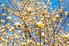 Sommige magnoliabloemen Royalty-vrije Stock Foto
