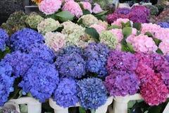 Sommige mooie hortensias stock foto's