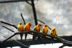 Sommige papegaaien (solstitialis Aratinga) Royalty-vrije Stock Afbeelding