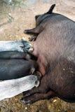 Sommige varkens drinken melk van een varken Royalty-vrije Stock Afbeelding