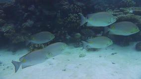 Sommige vissen van het de lijnenkonijn van Sri Lanka golvende stock footage