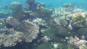 Sommige vissen van het de lijnenkonijn van Sri Lanka golvende stock videobeelden