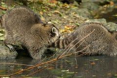Sommige wasberen spelen buiten door het water Stock Afbeelding