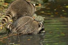 Sommige wasberen spelen buiten door het water Stock Fotografie