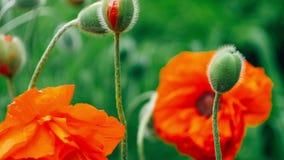 Sommigen van decoratieve rode papaverbloem in de lentedag, sluiten omhoog, 4K 3840 x 2160 UHD stock videobeelden