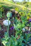 Somniferum opiumvallmo, är art av blomningväxten i familjpapaveraceaen fullvuxet i trädgårdar På Chiang Mai Arkivbilder