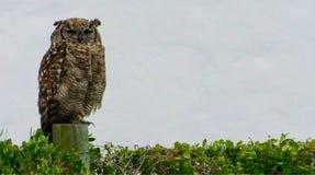 Somnoler repéré d'Eagle Owl photos stock