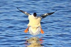 Somorgujo masculino - pollo de agua del Mergus foto de archivo libre de regalías