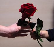 Gift of love. Son gives red rose at mom Stock Photography