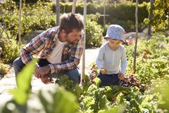Son Helping Father As They Work On Allotment Together stock photo