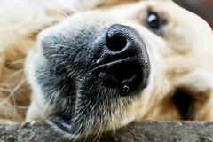 Son mon chien, son un golden retriever photographie stock
