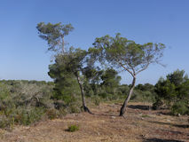 Son Real, Majorca. Son Real, pine woodland, Birdwatching site, Majorca, June 2015 Stock Image