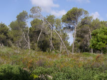 Son Real, Majorca. Son Real, pine woodland, Birdwatching site, Majorca, June 2015 royalty free stock images